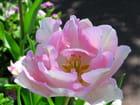 Tulipe rose