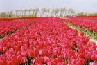 Tulipes de soie