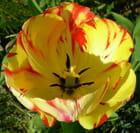 Tulipes en feu