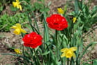 Tulipes et jonquilles.