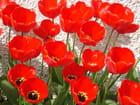 Tulipes flamboyantes