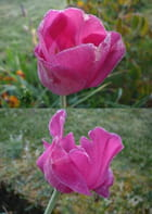 Tulipes raidies par le gel