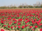 tulipes rouges