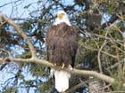 Un aigle américain