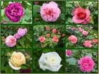 Un aperçu des jolies roses présentées au salon des plantes