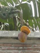 Un bananier à Toulouse
