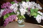 Un bouquet de lilas