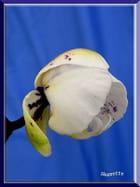 Un bouton d'orchidée