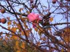 Un Bouton de rose