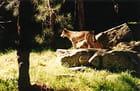 Un dingo