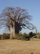 Un énorme baobab