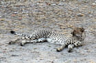 Un guépard en alerte