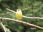 Un joli bruant jaune