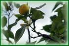 Un oranger au Petit TRIANON