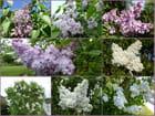 Un parfum de lilas dans le jardin