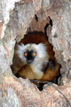 un petit  lémurien dans un roché