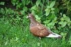 Un pigeon  bagué dans mon jardin
