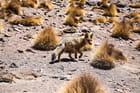 un renard de l'Altiplano appelé aussi