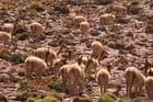 Un troupeau de vigognes
