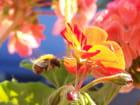 Une abeille ...