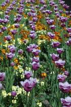 Une allée violette