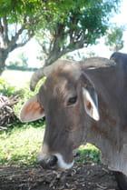 une belle vache