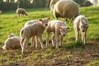 Une brochette d'agneau!