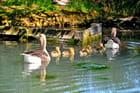 Une famille de canards