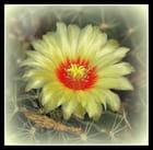 une fleur de cactus