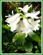 Une jolie blanche