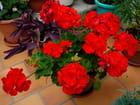 Une jolie potée de géranium rouge