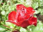Une perle de rosée