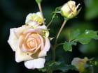 Une petite rose pastel