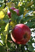 Une Pomme à croquer