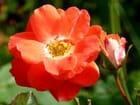 Une rose et son bouton