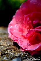 Une rose rosée.