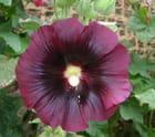 Une rose trémière
