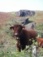 Une vache