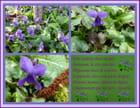 Une violette dans un pré ...