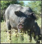 Une vraie tête de cochon...