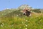 Vache au milieu des fleurs