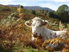 Vache bien coiffée
