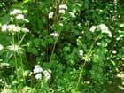 Valériane blanche