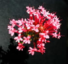 Valériane rose