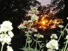 Valérianes au coucher du soleil