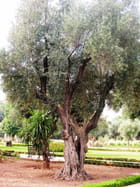 Veil olivier