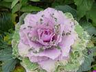 Véritable choux fleur
