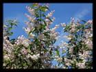 Vgx-Fleurs 19 - Fleurs d'arbre, mais lequel ?