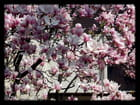 Vgx-Fleurs 3 - Fleurs de magnolia