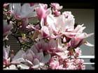 Vgx-Fleurs 4 - Fleurs de magnolia
